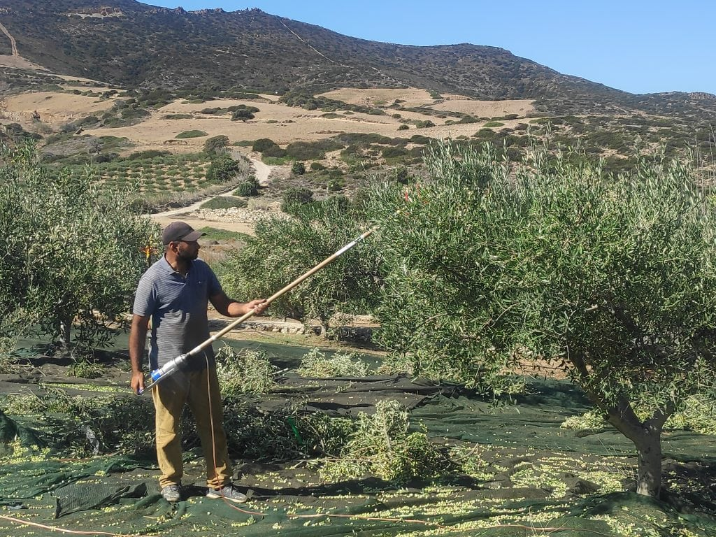 Olives are harvested from an olive orchard in Mykonos, Greece.