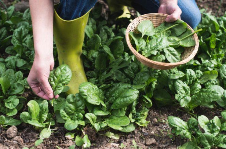 spinach in your garden